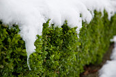 Royalty free stock photo of a privet hedge covered in snow.
