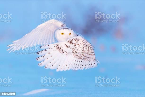 Snowy in flight picture id835928698?b=1&k=6&m=835928698&s=612x612&h=yyatcmu p3wbxta3uhacsgolte1qwhdzsnowx3nnhfm=