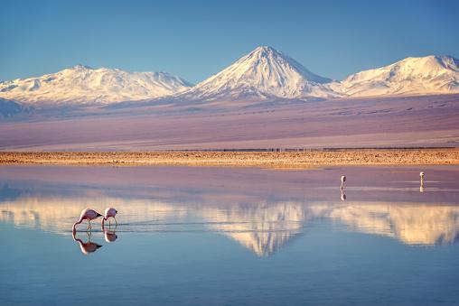 Snowy Licancabur volcano in Andes montains reflecting in the wate of Laguna Chaxa with Andean flamingos, Atacama salar, Chile