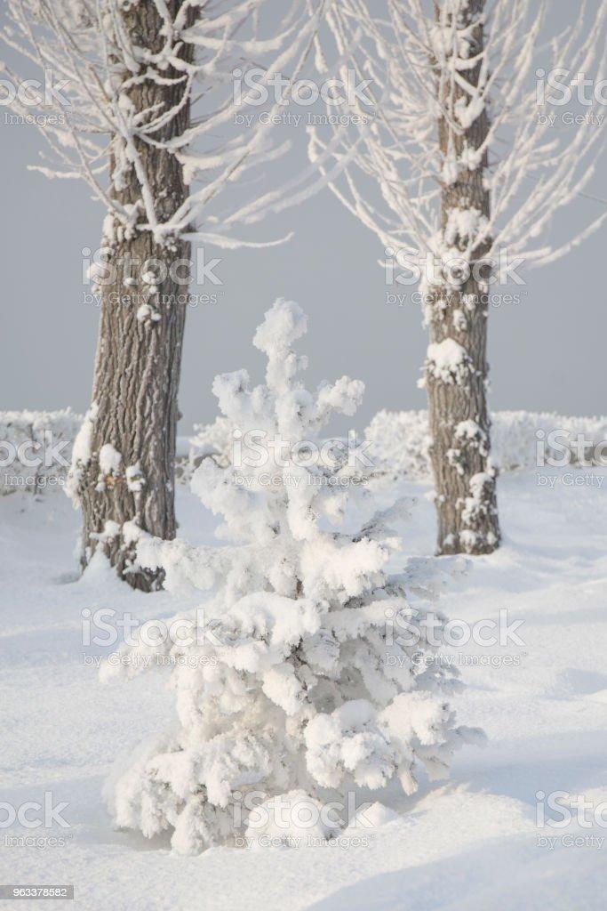 Snöiga lite Gran träd. Vintern frost träd. - Royaltyfri Dag Bildbanksbilder
