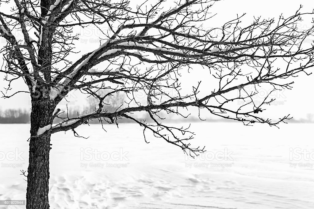 Snowy Minnesota Winter - Bare Oak Tree stock photo