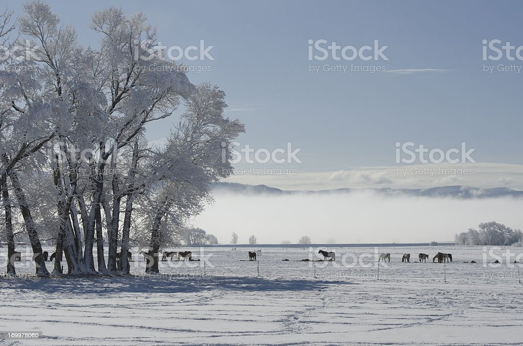 Snowy Morning in a Horse Pasture royalty-free stock photo
