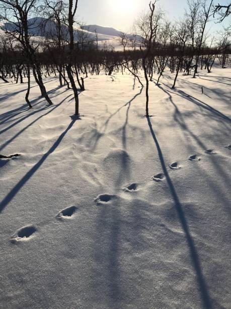 snowy mountain view with tracks of wolverine (weasel family), lapland, sweden_3 - rosomak zdjęcia i obrazy z banku zdjęć