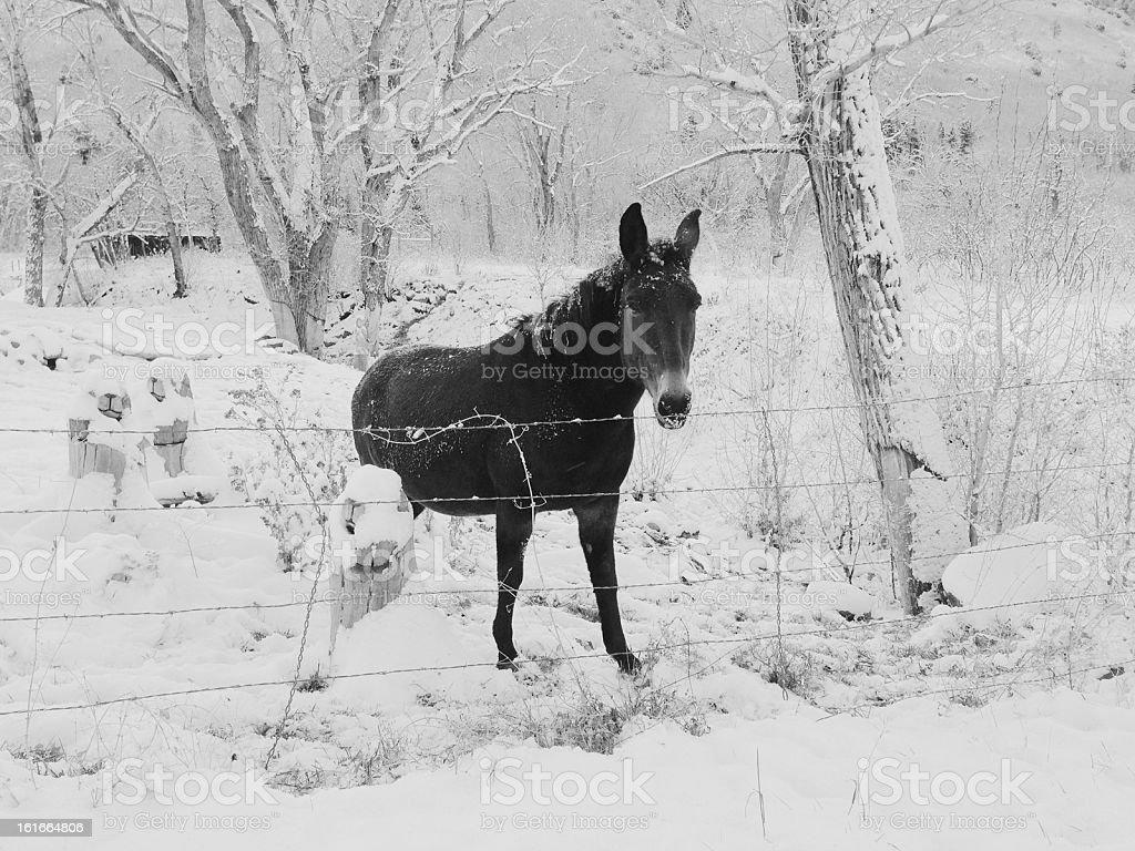 Snowy Mule royalty-free stock photo