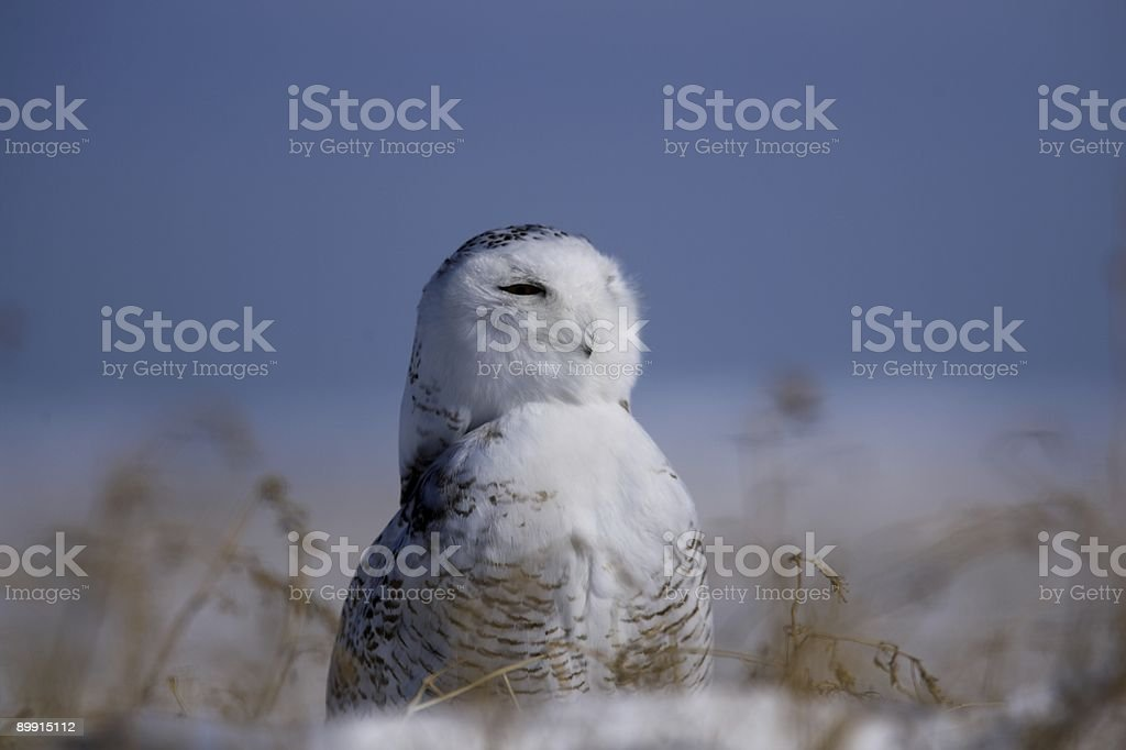 Snowy owl against blue sky royalty free stockfoto