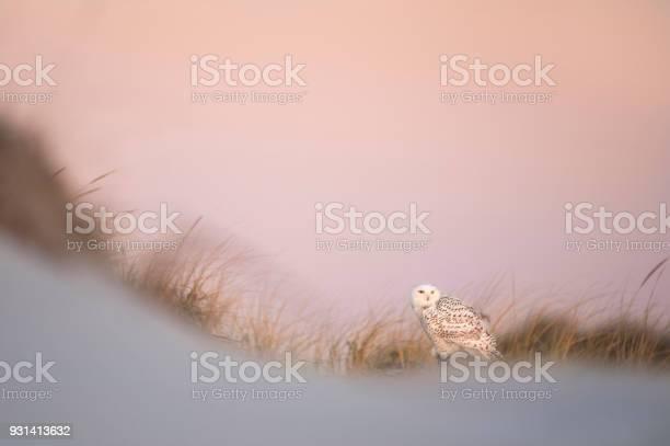 Snowy owl at dawn picture id931413632?b=1&k=6&m=931413632&s=612x612&h=su5axejwpjhupmpa4oebnkut pzkenuqrcoswmmbbyo=