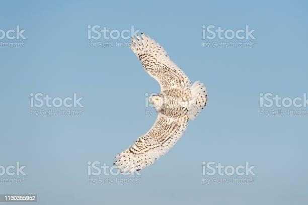 Snowy owl bubo scandiacus bird in flight blue sky picture id1130355952?b=1&k=6&m=1130355952&s=612x612&h=95qca0pawqw3sgmaumlm jqdhyhm24nha5ewxq3pnyc=