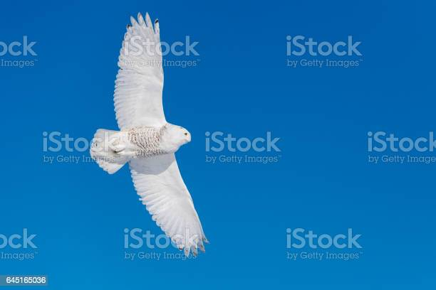 Snowy owl bubo scandiacus bird in flight blue sky picture id645165036?b=1&k=6&m=645165036&s=612x612&h=pt5vrdmm24272xxtr5idysl49kntt8undhbfw7k t2c=