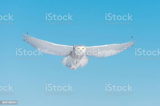Snowy owl bubo scandiacus bird in flight blue sky picture id645165044?b=1&k=6&m=645165044&s=612x612&h=flxbrjj2pfvnovws iu6kiwtif5rffczc jijnxsdxg=