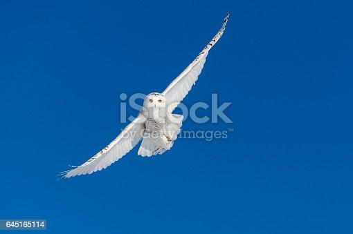 Snowy owl, bubo scandiacus, in flight. Rare bird.