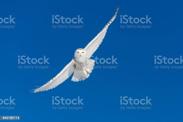 Snowy owl bubo scandiacus bird in flight blue sky picture id645165114?b=1&k=6&m=645165114&s=612x612&h=pmkg6pa2rohhqo8kepjmwz3twbcyhbywpn2i vzk7k4=