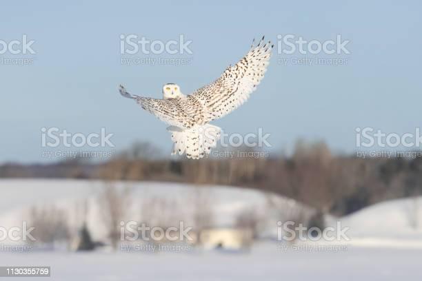 Snowy owl bubo scandiacus bird in flight looking backwards picture id1130355759?b=1&k=6&m=1130355759&s=612x612&h=iakc3r9qliv73wtespmewpzzxu ubwg3ymt6jd3kr78=