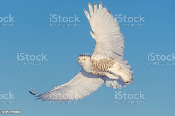 Snowy owl bubo scandiacus bird in flight picture id1126023015?b=1&k=6&m=1126023015&s=612x612&h=jebvx4cn 5uhlnejzhe u66tdyozp r4m59kbwmexu8=