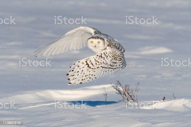 Snowy owl bubo scandiacus bird in flight picture id1126023157?b=1&k=6&m=1126023157&s=612x612&h=zdfwgut3c63p453tdv mm4wow1gj1sg3xwlmto4gobo=