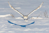 Snowy owl flying on a sunny day. Spread wings. Quebec's official bird.