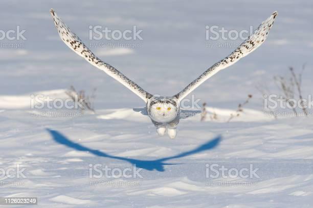 Snowy owl bubo scandiacus bird in flight picture id1126023249?b=1&k=6&m=1126023249&s=612x612&h=lcgashfiwjp8tyjshgq6elluplcefn8onzvosbm7a3w=