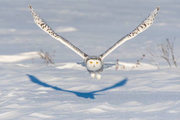 Snowy owl bubo scandiacus bird in flight picture id1126023249?b=1&k=6&m=1126023249&s=612x612&w=0&h=q0nod7psa9miyjy0m y zhwjn5jvwo3oca k8hld06o=