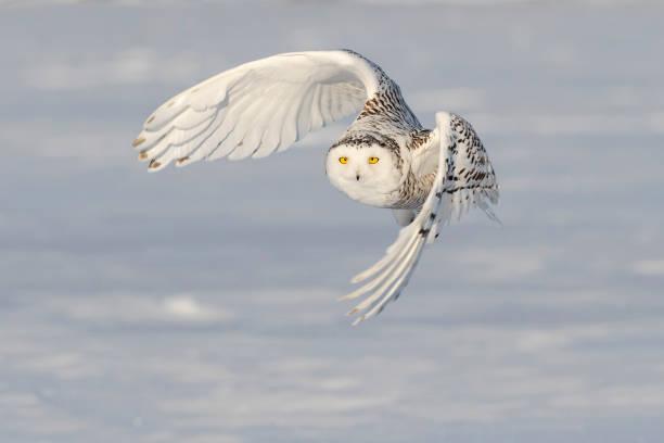Snowy owl bubo scandiacus bird in flight picture id1126023387?b=1&k=6&m=1126023387&s=612x612&w=0&h=ck6knq7 dzutpi2cyro8yp9u olfulhf8ov9jpx fsy=
