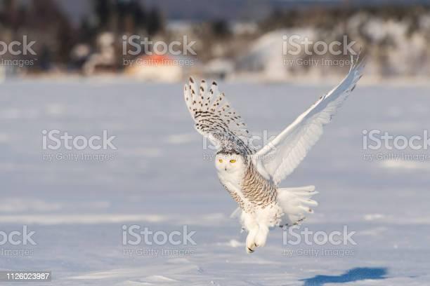 Snowy owl bubo scandiacus bird in flight picture id1126023987?b=1&k=6&m=1126023987&s=612x612&h=rceebiznj2xkwp6unhslm3w2vl2ohswpw3mp1rowbhe=
