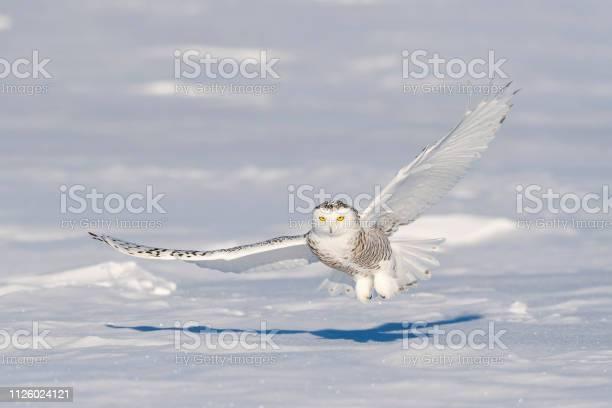 Snowy owl bubo scandiacus bird in flight picture id1126024121?b=1&k=6&m=1126024121&s=612x612&h= fb4zhr7xk4b wu2btqichgvr6biy 8tnm rtvlnu1s=