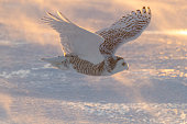 Snowy owl flying on a windy day. Rising sun light effect. Spread wings. Quebec's official bird.