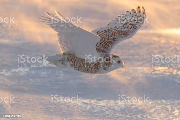 Snowy owl bubo scandiacus bird in flight picture id1130354738?b=1&k=6&m=1130354738&s=612x612&h=tatirssfd4caohzwlxkgtkith3qw44rquxv0ft3w4au=