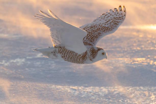 Snowy owl bubo scandiacus bird in flight picture id1130354738?b=1&k=6&m=1130354738&s=612x612&w=0&h=u7 jkrgl6w1ryejnngbartssslqbkq xltyahe3bwhk=