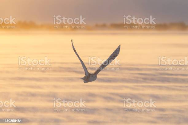 Snowy owl bubo scandiacus bird in flight picture id1130355484?b=1&k=6&m=1130355484&s=612x612&h=gw3idtjmg2kvi 2uwptfloh6p8uxbbmzxjyfltiqkrs=