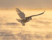 istock Snowy owl, bubo scandiacus, bird in flight 1130355831