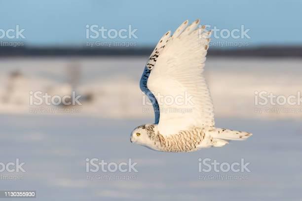 Snowy owl bubo scandiacus bird in flight picture id1130355930?b=1&k=6&m=1130355930&s=612x612&h=dvlikxkqxayehkprsvcosxexyo0zvcliuq fedl8 tq=