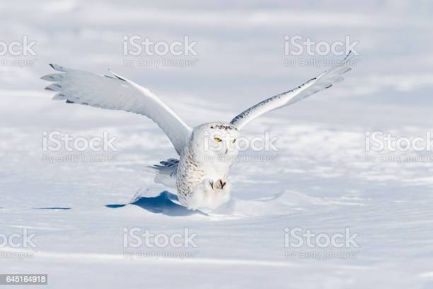 Snowy owl bubo scandiacus bird in flight picture id645164918?b=1&k=6&m=645164918&s=612x612&h=y rjqso7fqg9tnecqojpqgvl1qarla0mr1qox80mjru=