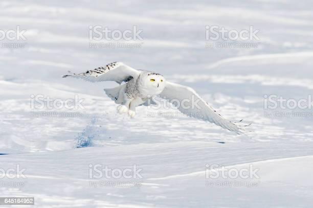 Snowy owl bubo scandiacus bird in flight picture id645164952?b=1&k=6&m=645164952&s=612x612&h=orq0eyohgvg2fmop5cdcnowwtdwz0z 6k 7luwxpjlm=