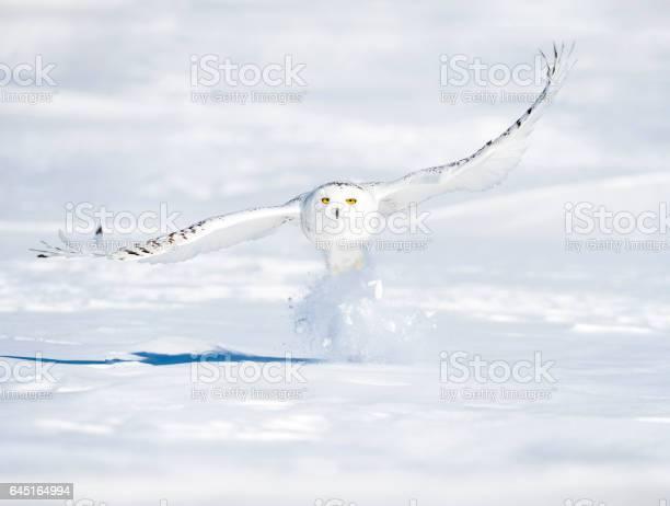 Snowy owl bubo scandiacus bird in flight picture id645164994?b=1&k=6&m=645164994&s=612x612&h=zozeowg6tddaryi1mzu qxby erwkszyt3nrmshoar0=