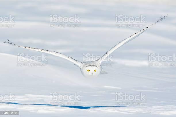 Snowy owl bubo scandiacus bird in flight picture id645165126?b=1&k=6&m=645165126&s=612x612&h=j4wbq3ljcqjduqzpffvjb7wwtyxsjosugrfoazvv4bo=
