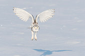 Snowy owl flying on a sunny day. Spread wings. Quebec's official bird. Shadow on snow.