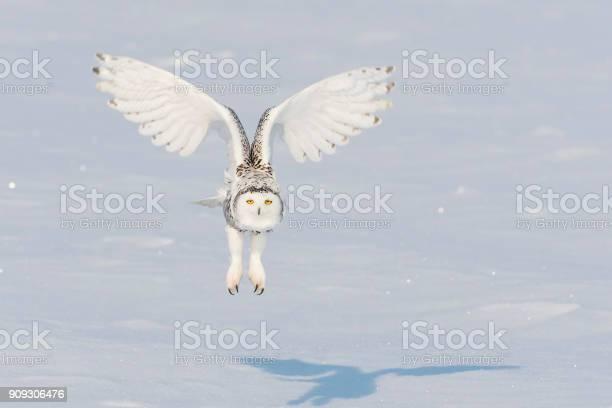 Snowy owl bubo scandiacus bird in flight picture id909306476?b=1&k=6&m=909306476&s=612x612&h=jscwthpywnf itz9ials4spvakcru6jjcencf99qpdc=