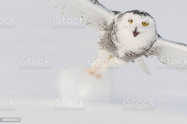 Snowy owl bubo scandiacus bird in flight picture id909306532?b=1&k=6&m=909306532&s=612x612&h=itdqmxb0jse5facr xohffdvkvuau9uafp7sff elgk=