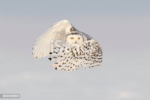 Close-up of snowy owl in action and looking at camera. Spread wings. Quebec's official bird.