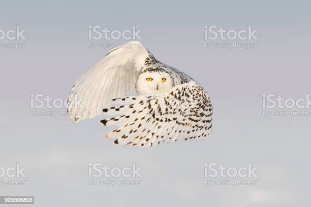 Snowy owl bubo scandiacus bird in flight picture id909306806?b=1&k=6&m=909306806&s=612x612&h=n0mghwho3h0hefts9ggvco899isotpx0jdloxlzoqao=