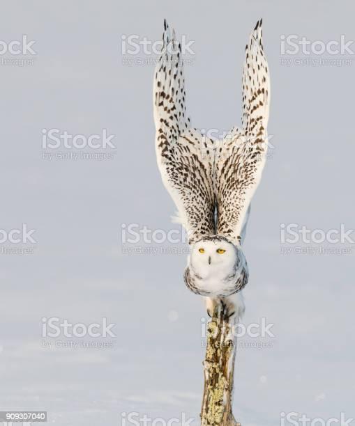 Snowy owl bubo scandiacus bird in flight picture id909307040?b=1&k=6&m=909307040&s=612x612&h=rjonelouhmj2qza wbb6iipldcsluuwglqzdnvlb90m=