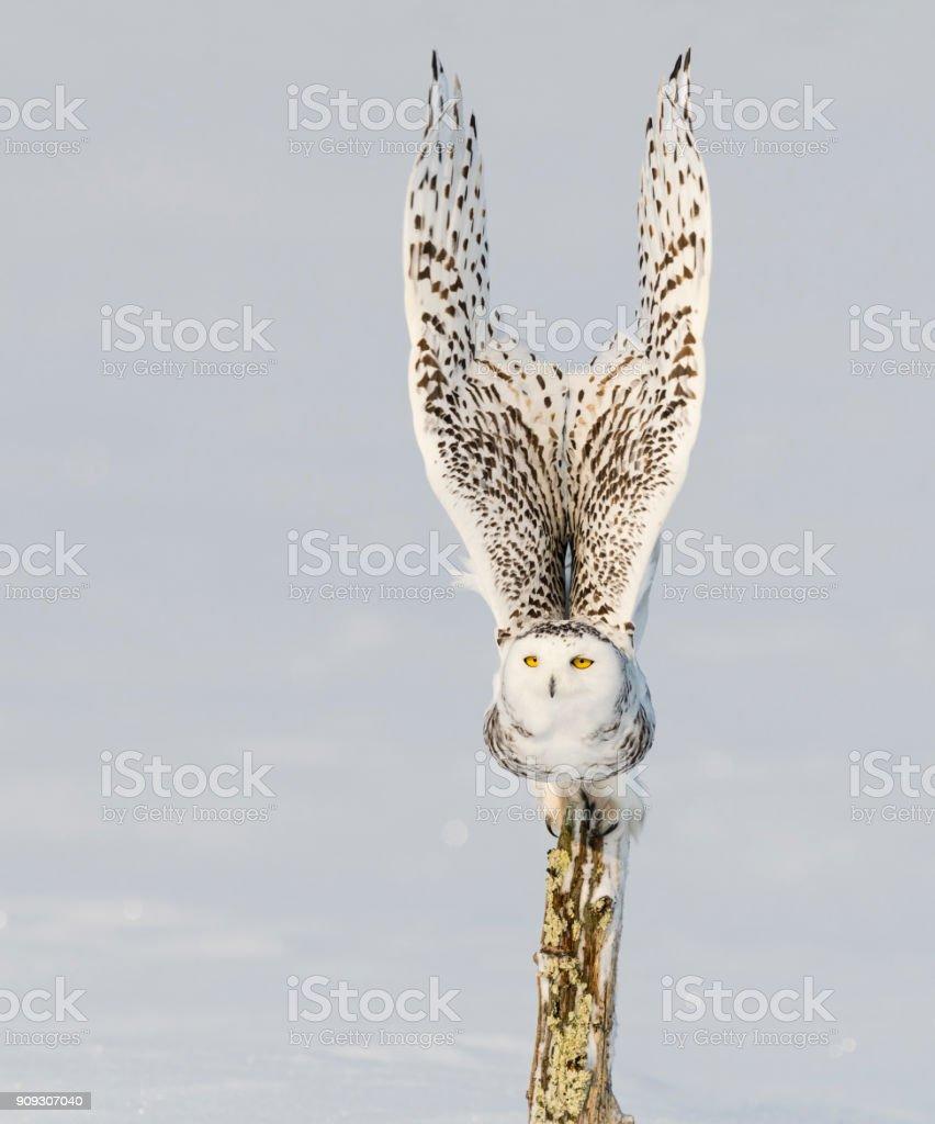 Snowy owl, bubo scandiacus, bird in flight stock photo