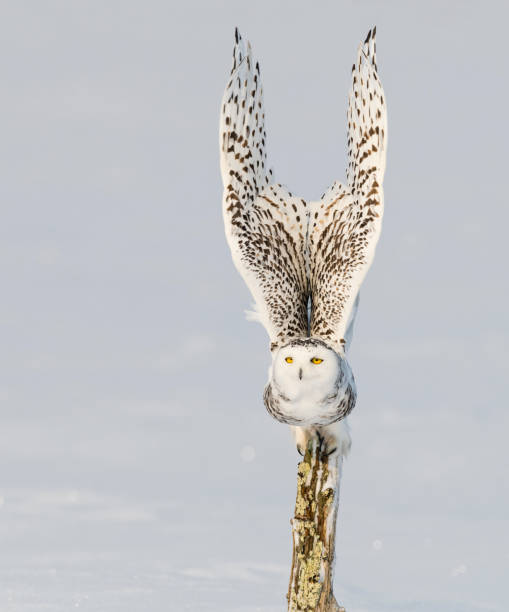 Snowy owl, bubo scandiacus, bird in flight stock photo
