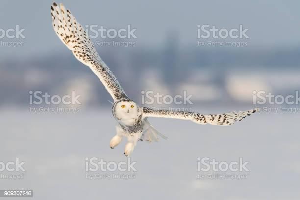Snowy owl bubo scandiacus bird in flight picture id909307246?b=1&k=6&m=909307246&s=612x612&h=ifoxkcxcrtjyklqzqtkyhuzzv5gsrg51hxyhgvphdqg=
