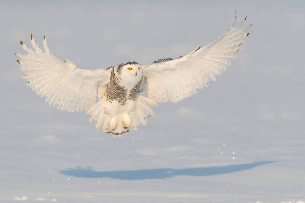 Snowy owl bubo scandiacus bird in flight picture id909307374?b=1&k=6&m=909307374&s=612x612&w=0&h=ecdjbfhrmcjr2upmgdcdpt8sckd8snekz cch6sgbok=
