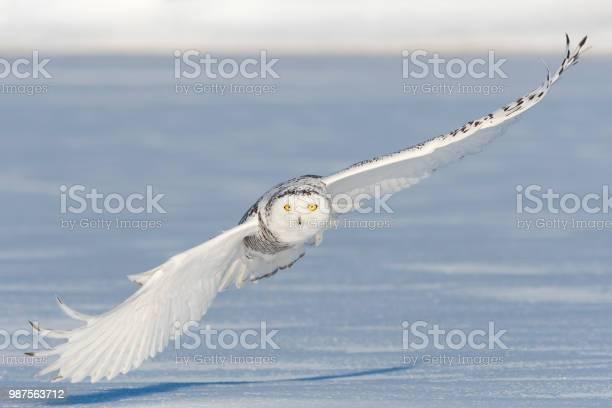 Snowy owl bubo scandiacus bird in flight picture id987563712?b=1&k=6&m=987563712&s=612x612&h=dyej2eywu5qn0c2rc4yfup1pudv3jnzlkhlme42hlny=