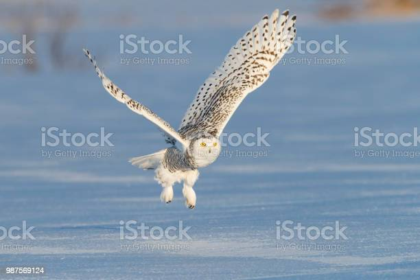 Snowy owl bubo scandiacus bird in flight picture id987569124?b=1&k=6&m=987569124&s=612x612&h=hkxqiagctbf9iy1hzqbezh8htj65ugp2jtm7dtsrcus=