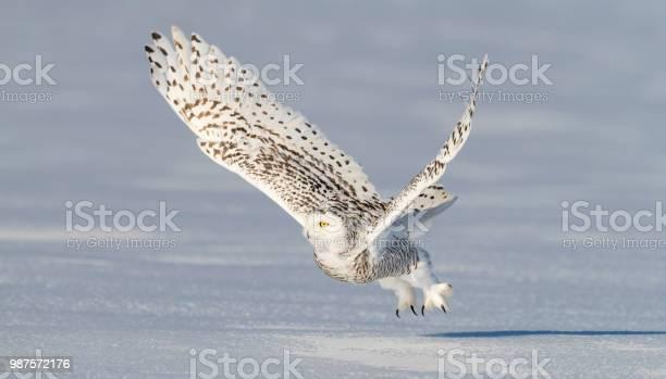 Snowy owl bubo scandiacus bird in flight picture id987572176?b=1&k=6&m=987572176&s=612x612&h=nxyoxl1ztjzp0rbw4yp5 lpubgg rm8xfyljoxgxacm=