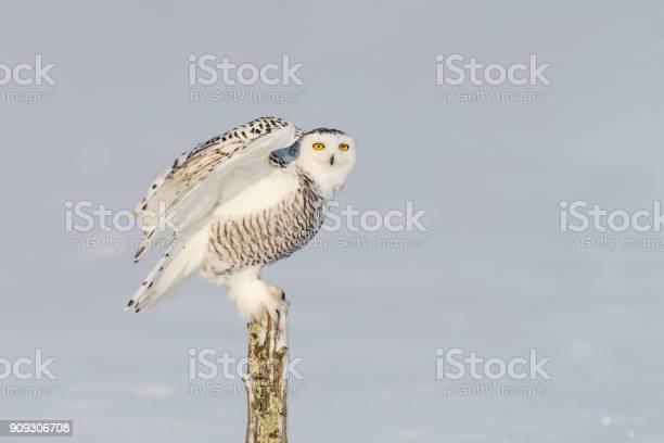 Snowy owl bubo scandiacus bird perching picture id909306708?b=1&k=6&m=909306708&s=612x612&h=ubcvhxdlm4xelsdtb17phmmvhbzpg7q2nityooh4jiu=