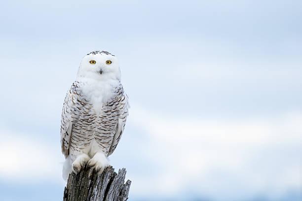 Snowy owl bubo scandiacus picture id513227258?b=1&k=6&m=513227258&s=612x612&w=0&h=l8jaat2sw3ssjd hxmxz4jdx1ghoivwqa6wc0ulketk=