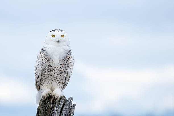 royalty free snowy owl pictures images and stock photos istock